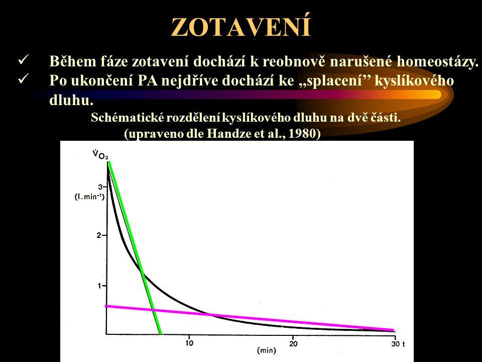 ZOTAVENÍ Čas nutný k návratu jednotlivých parametrů na klidovou úroveň: a)resyntéza ATP, úprava O 2 v tělních tekutinách, návrat sodíku společně s draslíkem rychlejší fáze < 2-7min.