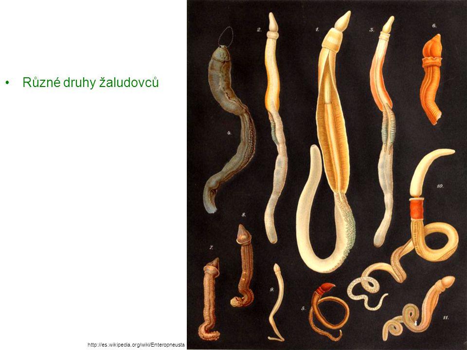 Žaludovec malý – žije v chodbičkách v písčitém dně Středozemního moře, je asi 10 cm dlouhý Obrázky ukazují další druhy žaludovců Saccoglossus bromophenolosus http://eol.org/pages/8860/media