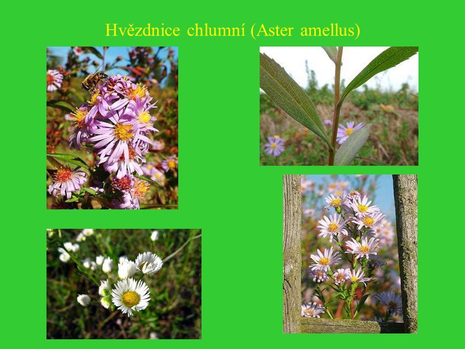 Pcháč obecný (Cirsium vulgare)