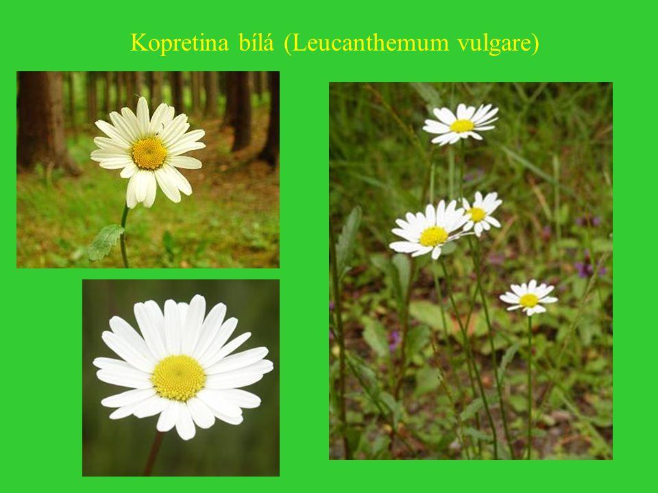 Chryzantéma (listopadka) (Chrysanthemum)