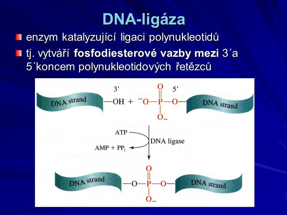 DNA-ligáza enzym katalyzující ligaci polynukleotidů tj. vytváří fosfodiesterové vazby mezi 3´a 5´koncem polynukleotidových řetězců