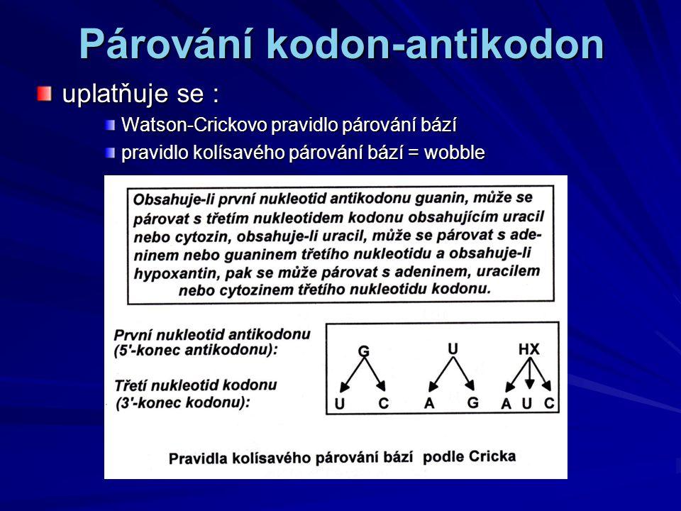 Párování kodon-antikodon uplatňuje se : Watson-Crickovo pravidlo párování bází pravidlo kolísavého párování bází = wobble