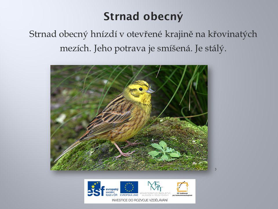 Strnad obecný Strnad obecný hnízdí v otevřené krajině na křovinatých mezích. Jeho potrava je smíšená. Je stálý. 3
