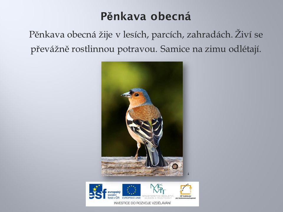 P ě nkava obecná Pěnkava obecná žije v lesích, parcích, zahradách. Živí se převážně rostlinnou potravou. Samice na zimu odlétají. 4