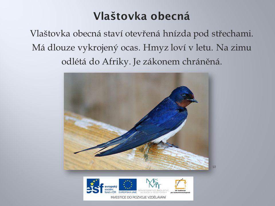 Vlaštovka obecná Vlaštovka obecná staví otevřená hnízda pod střechami. Má dlouze vykrojený ocas. Hmyz loví v letu. Na zimu odlétá do Afriky. Je zákone