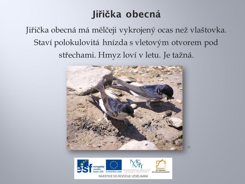Ji ř i č ka obecná Jiřička obecná má mělčeji vykrojený ocas než vlaštovka. Staví polokulovitá hnízda s vletovým otvorem pod střechami. Hmyz loví v let