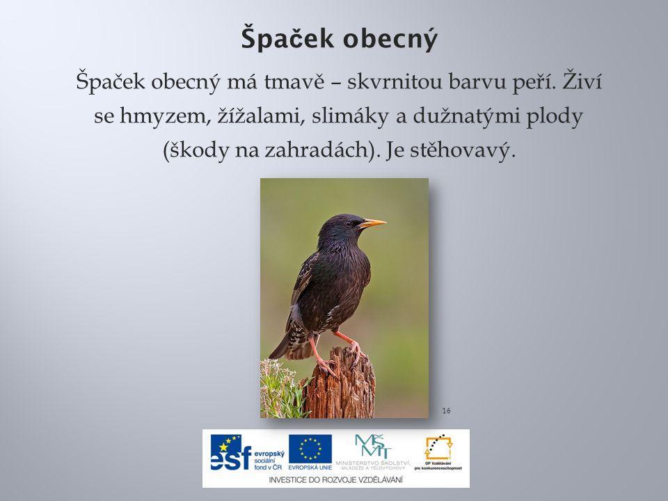 Špa č ek obecný Špaček obecný má tmavě – skvrnitou barvu peří. Živí se hmyzem, žížalami, slimáky a dužnatými plody (škody na zahradách). Je stěhovavý.