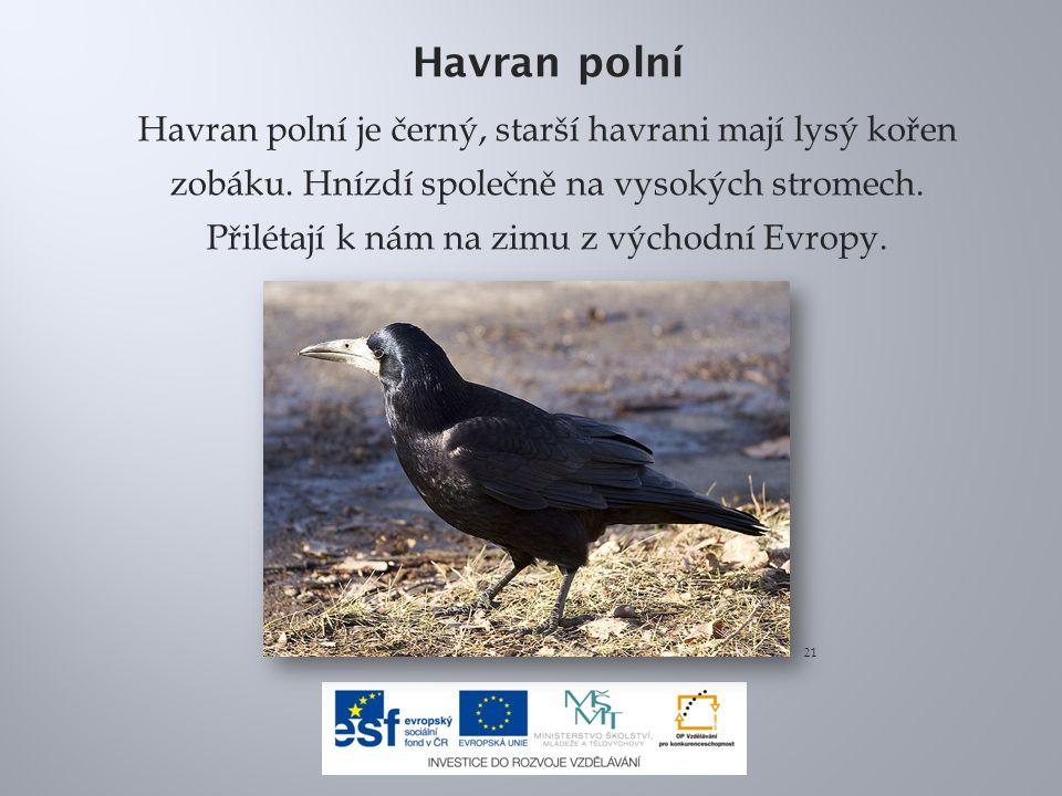 Havran polní Havran polní je černý, starší havrani mají lysý kořen zobáku. Hnízdí společně na vysokých stromech. Přilétají k nám na zimu z východní Ev