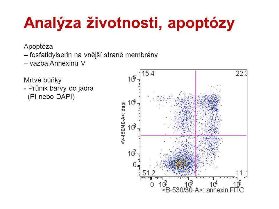Analýza životnosti, apoptózy Apoptóza – fosfatidylserin na vnější straně membrány – vazba Annexinu V Mrtvé buňky - Průnik barvy do jádra (PI nebo DAPI)