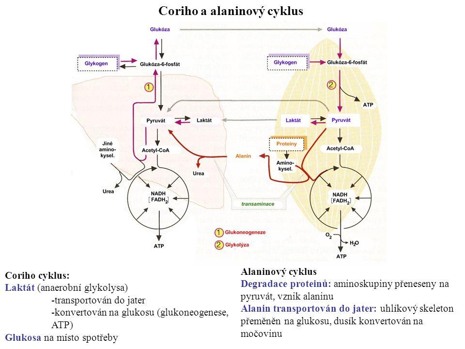 Coriho a alaninový cyklus Coriho cyklus: Laktát (anaerobní glykolysa) -transportován do jater -konvertován na glukosu (glukoneogenese, ATP) Glukosa na