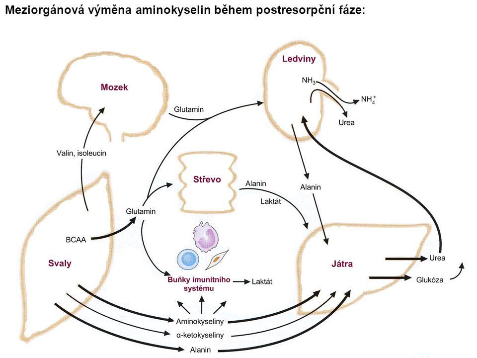 Meziorgánová výměna aminokyselin během postresorpční fáze: