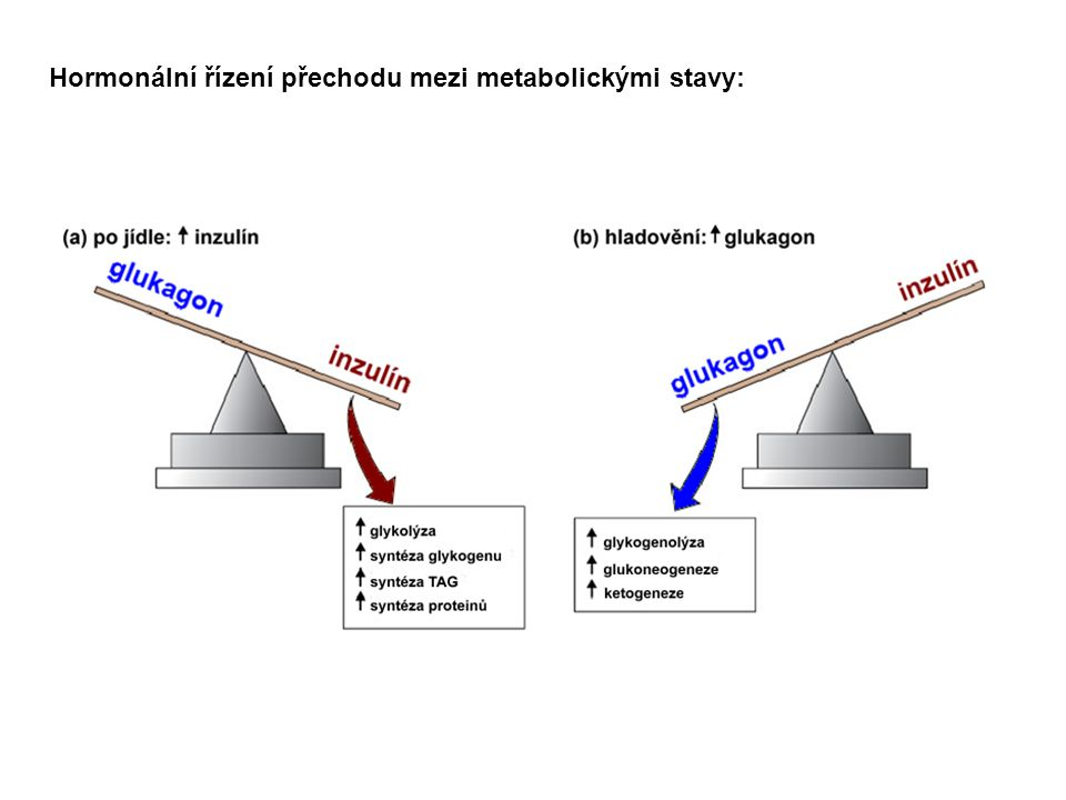 oxidace substrátů ze zásob: glukózy (tkáně závislé na glukóze) mastných kyselin (svaly, játra) ketolátek (svaly, ledviny): tvorba ketolátek z mastných kyselin uvolněných z triacylglycerolů homeostáza glukózy: degradace jaterního glykogenu glukoneogeneze 1 2 Postresorpční fáze: 3degradace proteinů a syntéza močoviny