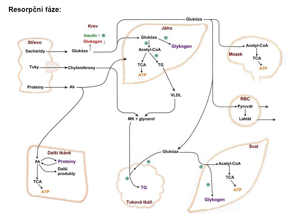Coriho a alaninový cyklus Coriho cyklus: Laktát (anaerobní glykolysa) -transportován do jater -konvertován na glukosu (glukoneogenese, ATP) Glukosa na místo spotřeby Alaninový cyklus Degradace proteinů:aminoskupiny přeneseny na pyruvát, vznik alaninu Alanin transportován do jater:uhlíkový skeleton přeměněn na glukosu,dusík konvertován na močovinu