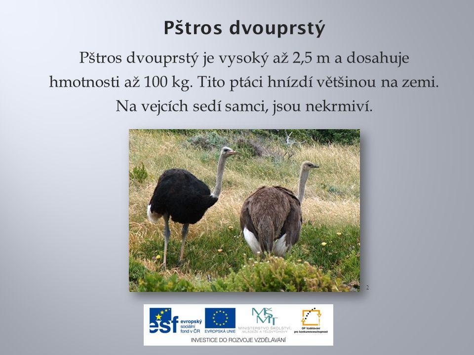 Pštros dvouprstý Pštros dvouprstý je vysoký až 2,5 m a dosahuje hmotnosti až 100 kg. Tito ptáci hnízdí většinou na zemi. Na vejcích sedí samci, jsou n