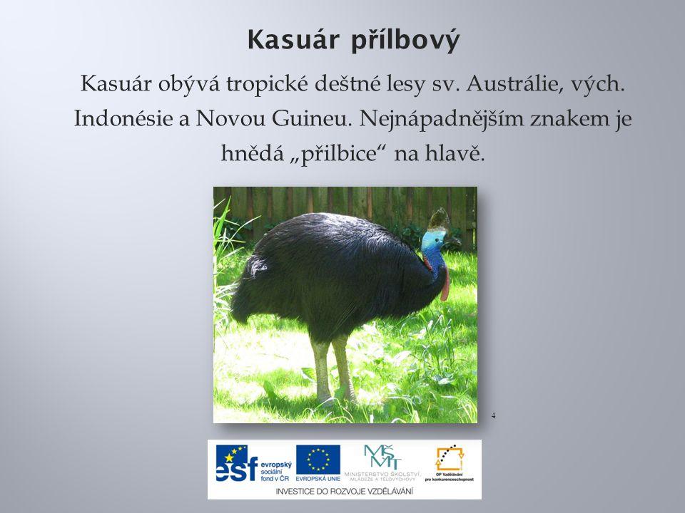 """Kasuár p ř ílbový Kasuár obývá tropické deštné lesy sv. Austrálie, vých. Indonésie a Novou Guineu. Nejnápadnějším znakem je hnědá """"přilbice"""" na hlavě."""