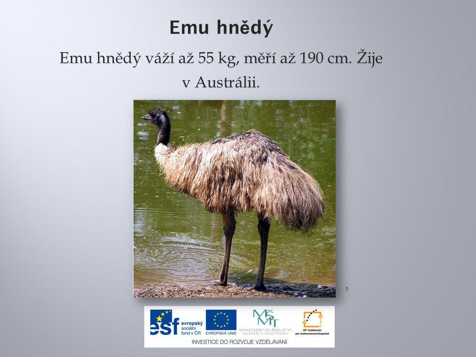 Emu hn ě dý Emu hnědý váží až 55 kg, měří až 190 cm. Žije v Austrálii. 5