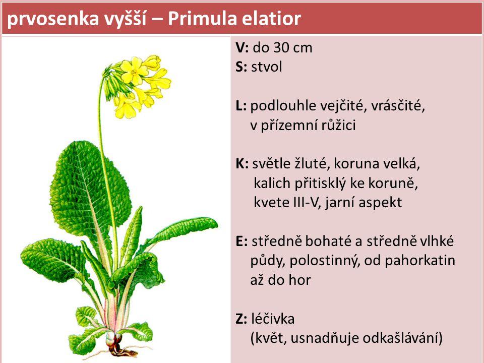 prvosenka vyšší – Primula elatior V: do 30 cm S: stvol L: podlouhle vejčité, vrásčité, v přízemní růžici K: světle žluté, koruna velká, kalich přitisk
