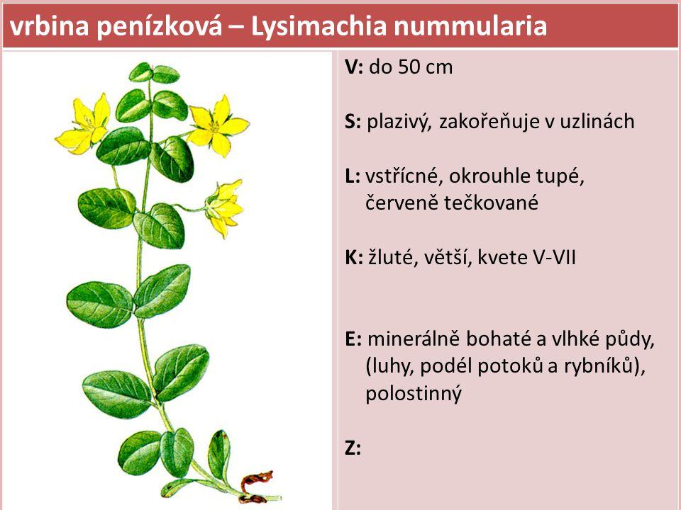 vrbina penízková – Lysimachia nummularia V: do 50 cm S: plazivý, zakořeňuje v uzlinách L: vstřícné, okrouhle tupé, červeně tečkované K: žluté, větší,