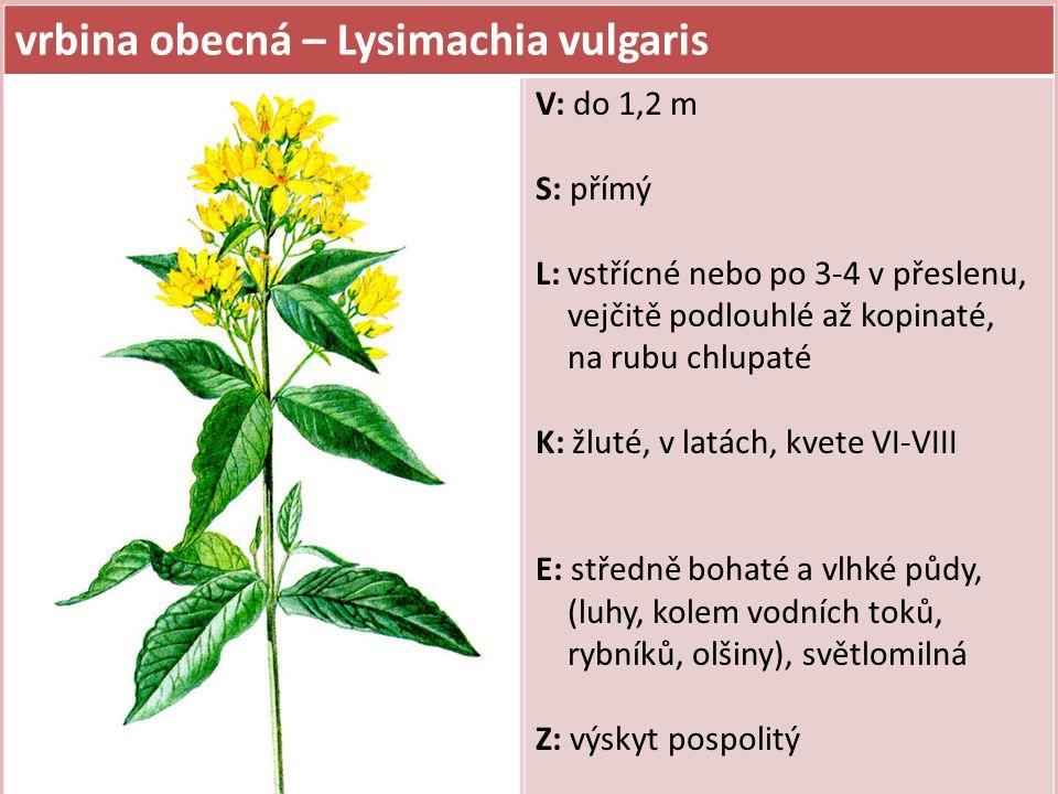vrbina obecná – Lysimachia vulgaris V: do 1,2 m S: přímý L: vstřícné nebo po 3-4 v přeslenu, vejčitě podlouhlé až kopinaté, na rubu chlupaté K: žluté,