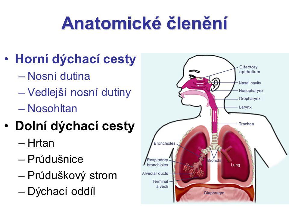 Anatomické členění Horní dýchací cesty –Nosní dutina –Vedlejší nosní dutiny –Nosohltan Dolní dýchací cesty –Hrtan –Průdušnice –Průduškový strom –Dýcha