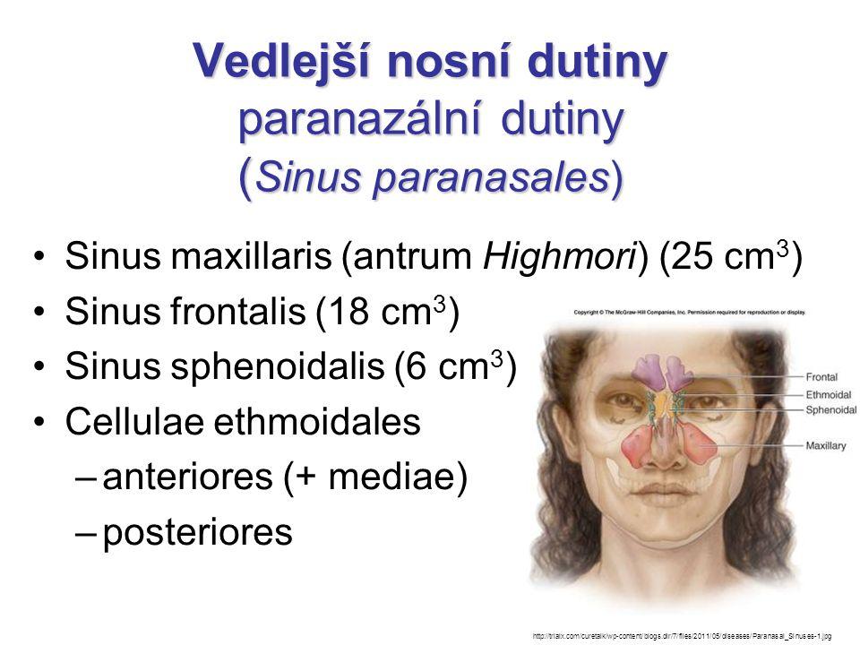 Vedlejší nosní dutiny paranazální dutiny ( Sinus paranasales) Sinus maxillaris (antrum Highmori) (25 cm 3 ) Sinus frontalis (18 cm 3 ) Sinus sphenoida