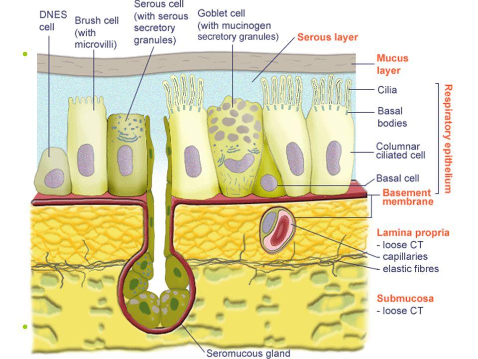 Epitel dýchacích cest víceřadý cylindrický s řasinkami (epithelium pseudostratificatum columnare ciliatum) –cylindrické buňky s řasinkami (epitheliocy