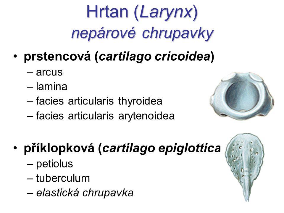 Hrtan (Larynx) nepárové chrupavky prstencová (cartilago cricoidea) –arcus –lamina –facies articularis thyroidea –facies articularis arytenoidea příklo