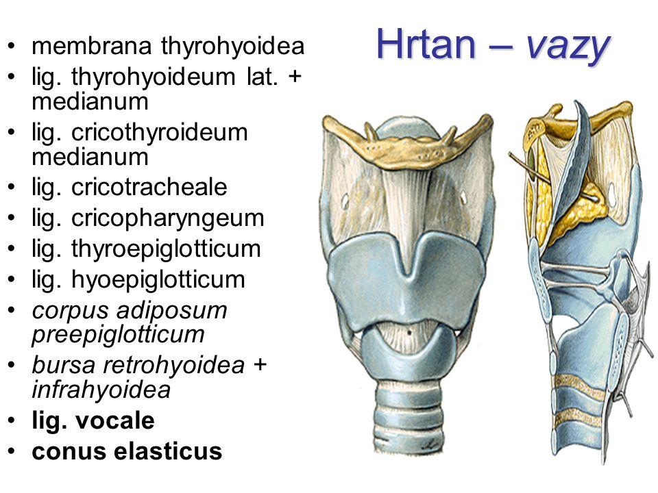 Hrtan – vazy membrana thyrohyoidea lig. thyrohyoideum lat. + medianum lig. cricothyroideum medianum lig. cricotracheale lig. cricopharyngeum lig. thyr