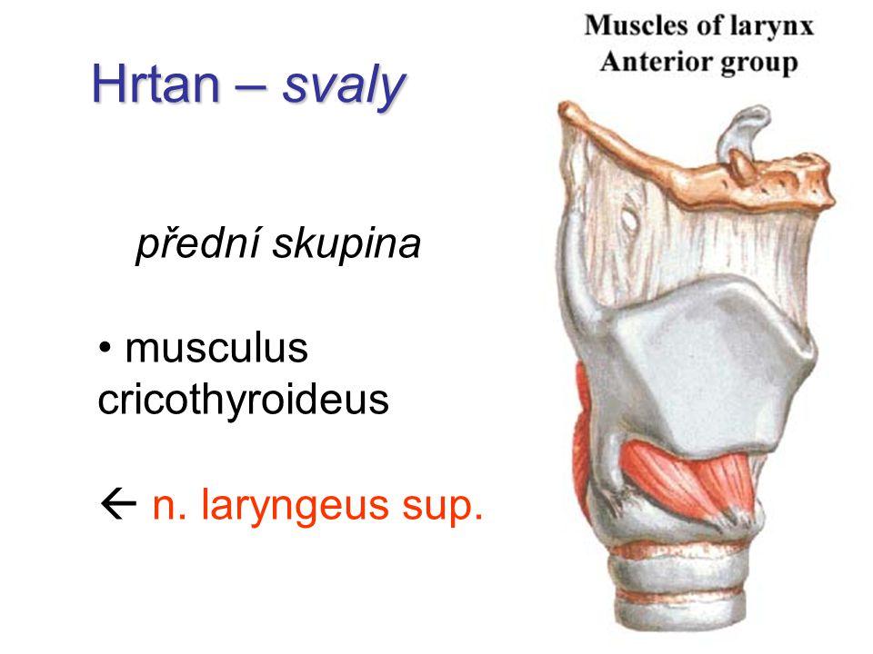 Hrtan – svaly přední skupina musculus cricothyroideus  n. laryngeus sup.