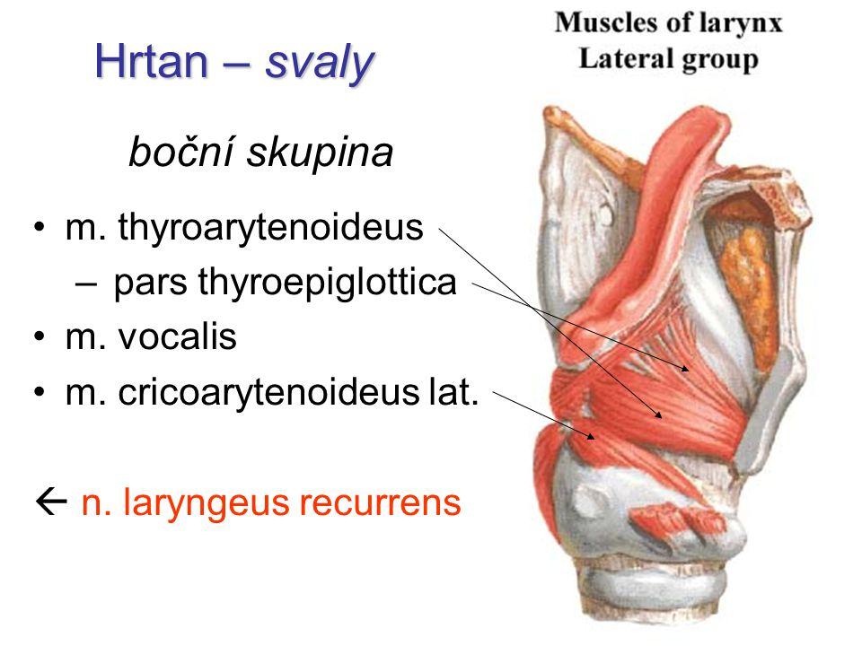 Hrtan – svaly boční skupina m. thyroarytenoideus – pars thyroepiglottica m. vocalis m. cricoarytenoideus lat.  n. laryngeus recurrens