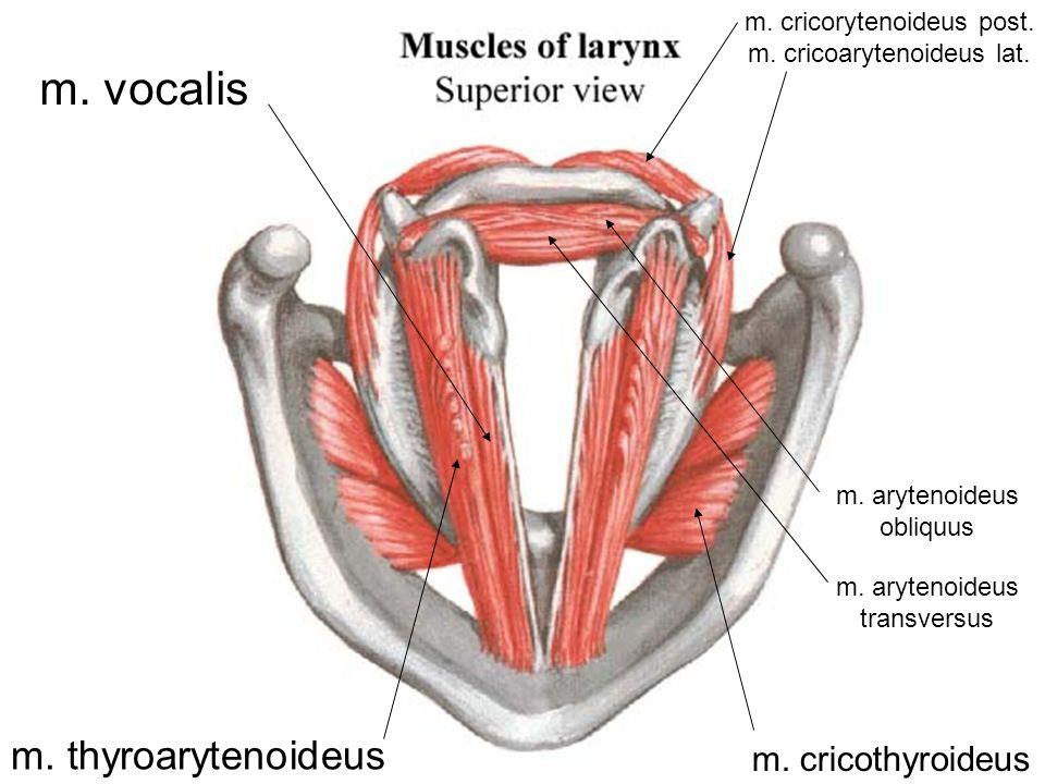 m. vocalis m. thyroarytenoideus m. cricorytenoideus post. m. cricoarytenoideus lat. m. cricothyroideus m. arytenoideus transversus m. arytenoideus obl