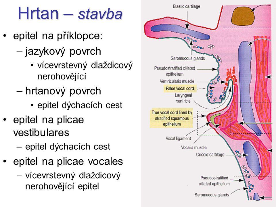 Hrtan – stavba epitel na příklopce: –jazykový povrch vícevrstevný dlaždicový nerohovějící –hrtanový povrch epitel dýchacích cest epitel na plicae vest