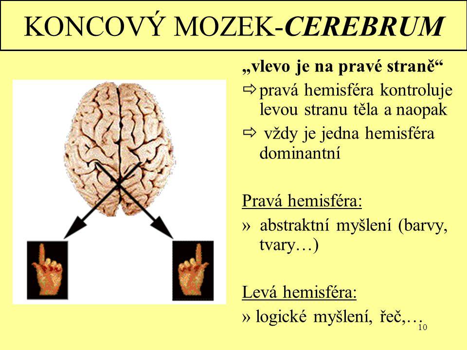 """10 KONCOVÝ MOZEK-CEREBRUM """"vlevo je na pravé straně""""  pravá hemisféra kontroluje levou stranu těla a naopak  vždy je jedna hemisféra dominantní Prav"""