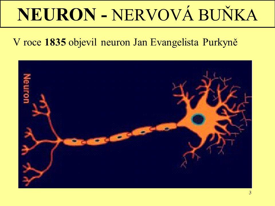 3 NEURON - NERVOVÁ BUŇKA V roce 1835 objevil neuron Jan Evangelista Purkyně