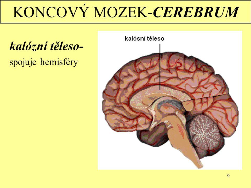 """10 KONCOVÝ MOZEK-CEREBRUM """"vlevo je na pravé straně  pravá hemisféra kontroluje levou stranu těla a naopak  vždy je jedna hemisféra dominantní Pravá hemisféra: » abstraktní myšlení (barvy, tvary…) Levá hemisféra: » logické myšlení, řeč,…"""