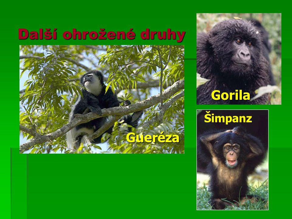 Gorila Šimpanz Gueréza Další ohrožené druhy