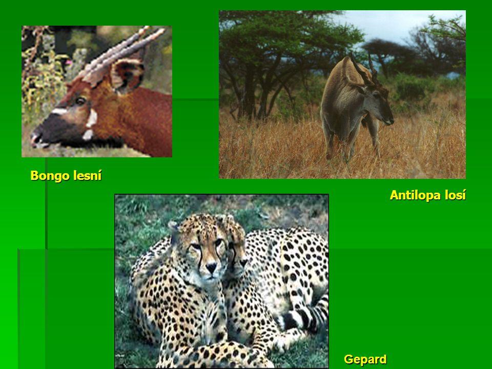 Antilopa losí Bongo lesní Gepard
