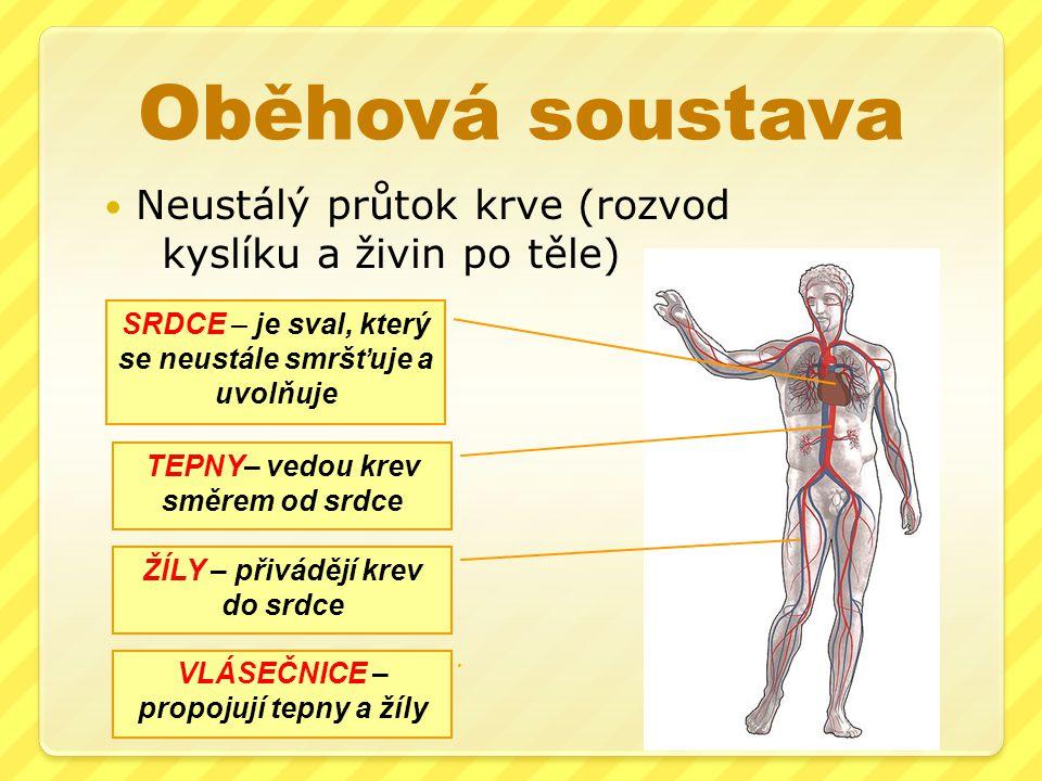 Oběhová soustava Neustálý průtok krve (rozvod kyslíku a živin po těle) SRDCE – je sval, který se neustále smršťuje a uvolňuje TEPNY– vedou krev směrem