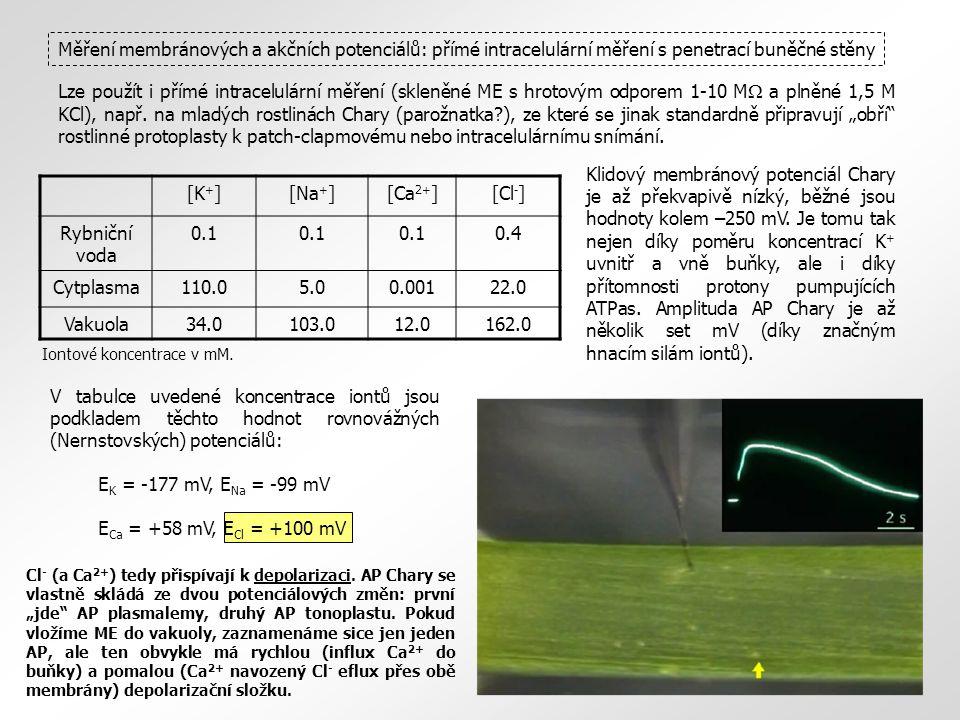 Měření membránových a akčních potenciálů: přímé intracelulární měření s penetrací buněčné stěny Lze použít i přímé intracelulární měření (skleněné ME s hrotovým odporem 1-10 M  a plněné 1,5 M KCl), např.