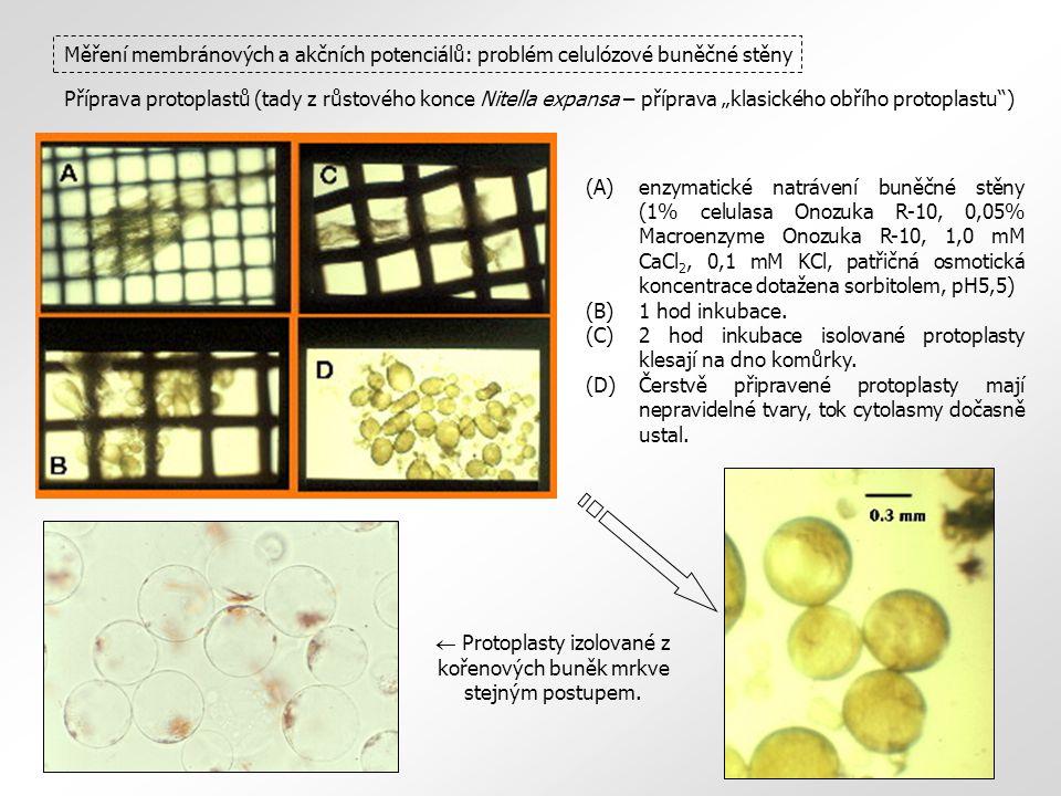 """Měření membránových a akčních potenciálů: problém celulózové buněčné stěny Příprava protoplastů (tady z růstového konce Nitella expansa – příprava """"klasického obřího protoplastu )  Protoplasty izolované z kořenových buněk mrkve stejným postupem."""