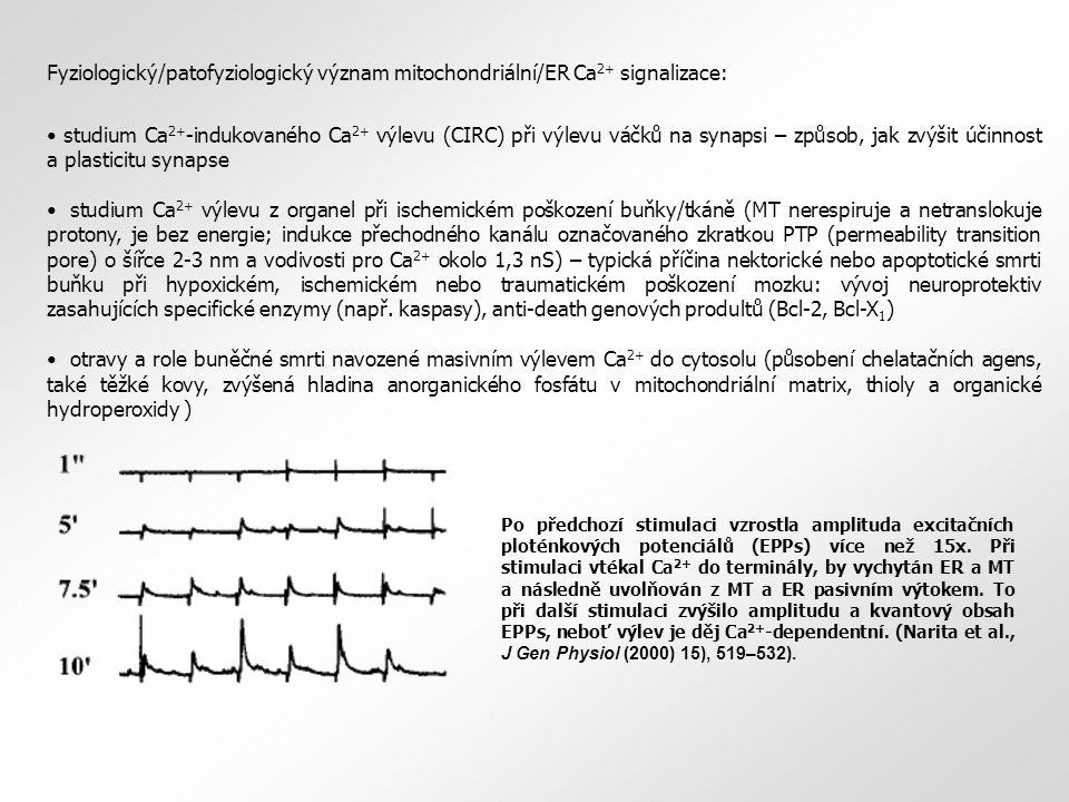 """Ca 2+ Ca 2+ pumpa Bcl-2 IP 3 R RyR ribosomální translokační komplex ATP–navozený výtok ATP ADP + P i cytosol ER (SR) """"přirozené ionofory cyklus TCA Zjednodušené schéma mitochondrie s hlavními složkami řetězce transportu elektronů a předpokládanými dráhami vtoku a výtoku vápenatých iontů."""