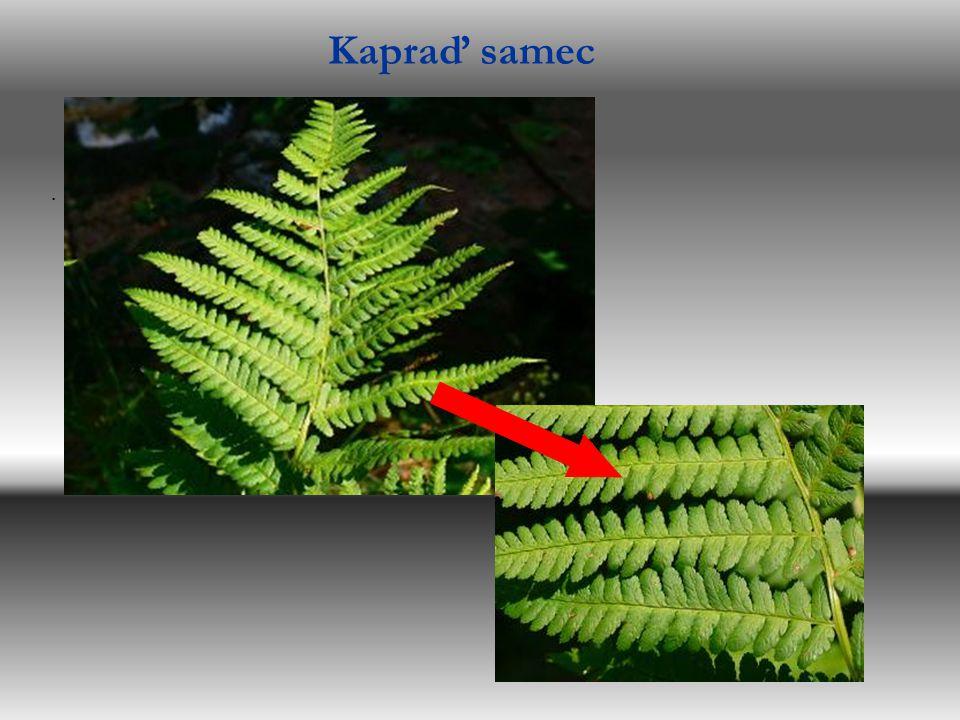 Kupky výtrusů na spodní straně listů Kapraď samec Papratka samičí