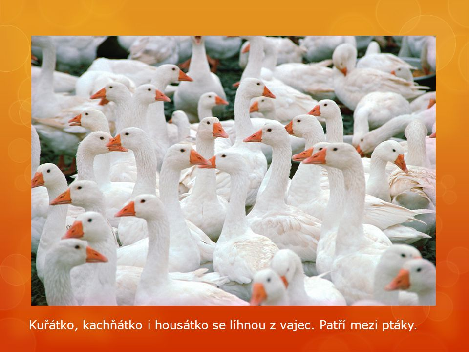 Kuřátko, kachňátko i housátko se líhnou z vajec. Patří mezi ptáky.