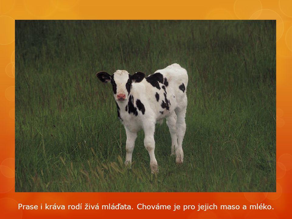 Prase i kráva rodí živá mláďata. Chováme je pro jejich maso a mléko.