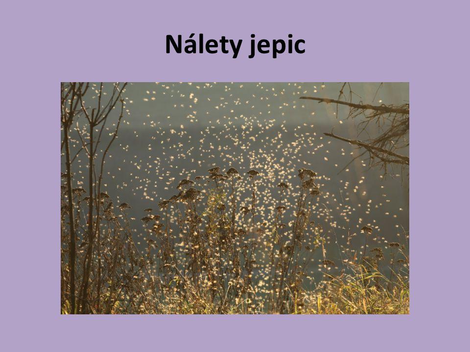 Zdroje : http://www.rybsvaz.cz/zu/slides/Jepiceobecn a.html http://cs.wikipedia.org/wiki/Jepice http://www.nature- photogallery.eu/cz/foto/2487-nalety- jepic/?puvod=39 J.Zahradník, J.Haberlandtová : Náš hmyz