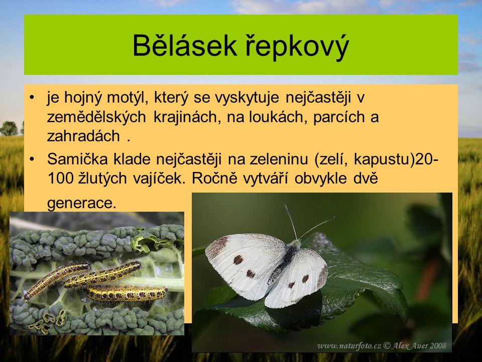 Bělásek řepkový je hojný motýl, který se vyskytuje nejčastěji v zemědělských krajinách, na loukách, parcích a zahradách. Samička klade nejčastěji na z