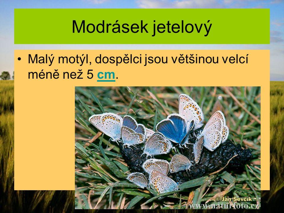 Modrásek jetelový Malý motýl, dospělci jsou většinou velcí méně než 5 cm.cm