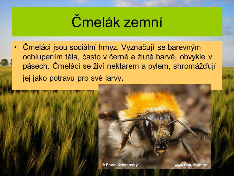 Čmelák zemní Čmeláci jsou sociální hmyz. Vyznačují se barevným ochlupením těla, často v černé a žluté barvě, obvykle v pásech. Čmeláci se živí nektare