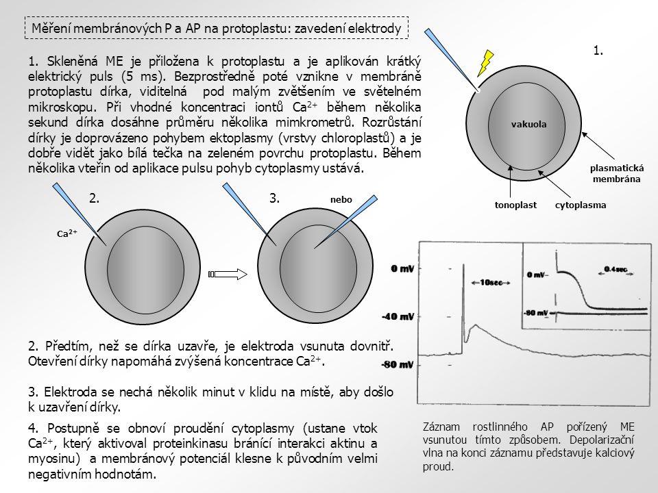 Měření membránových P a AP na protoplastu: zavedení elektrody Ca 2+ cytoplasmatonoplast plasmatická membrána vakuola 1.