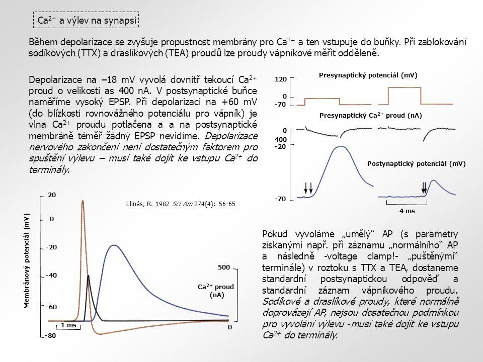 Během depolarizace se zvyšuje propustnost membrány pro Ca 2+ a ten vstupuje do buňky.
